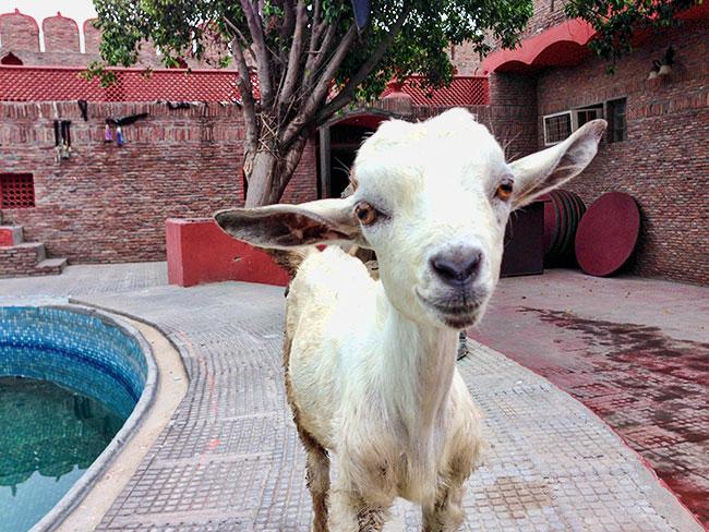 Noosy Goat