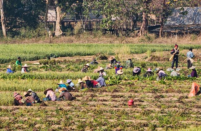 Garlic Harvest in Pai