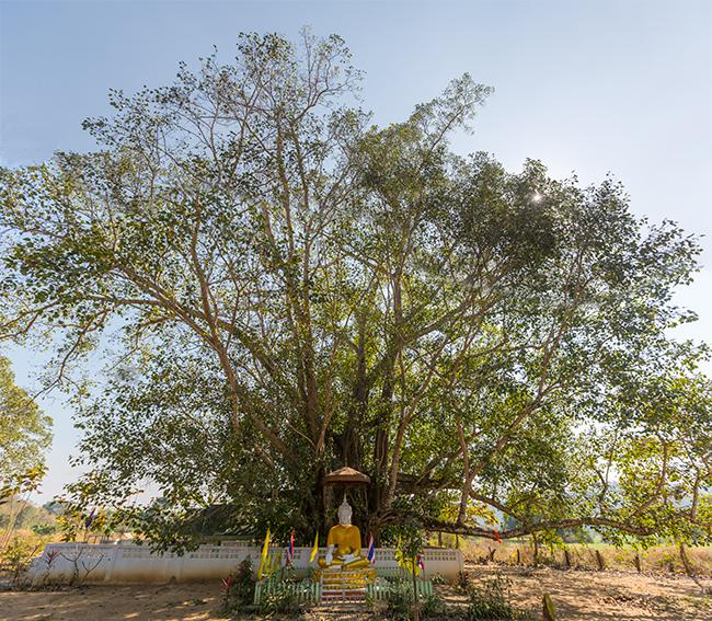 Buddhaa Tree