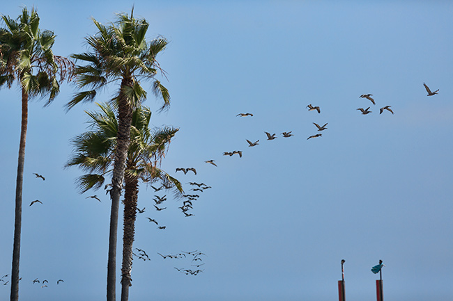 Pelicans at Venice Beach