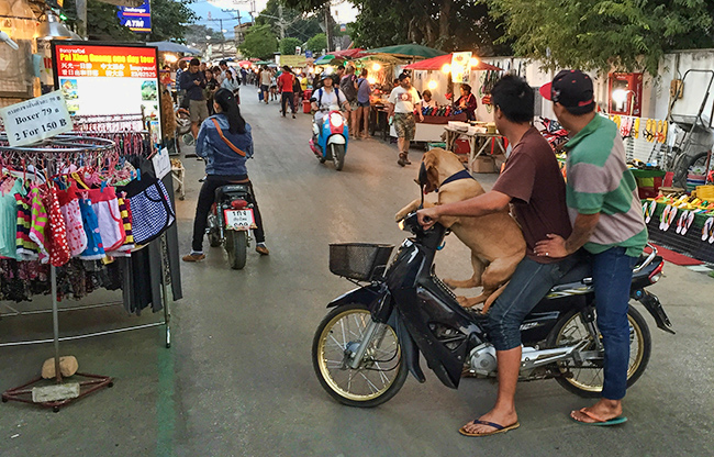 One of the many Pai dogs on bikes