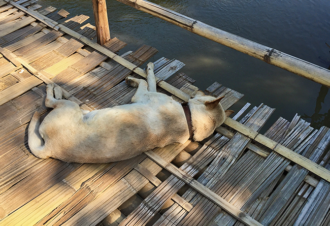 Pai dog on a bamboo bridge