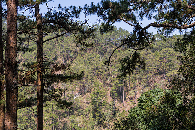 Pine forest after Dalat