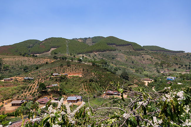 Coffee plantations eat into the forest