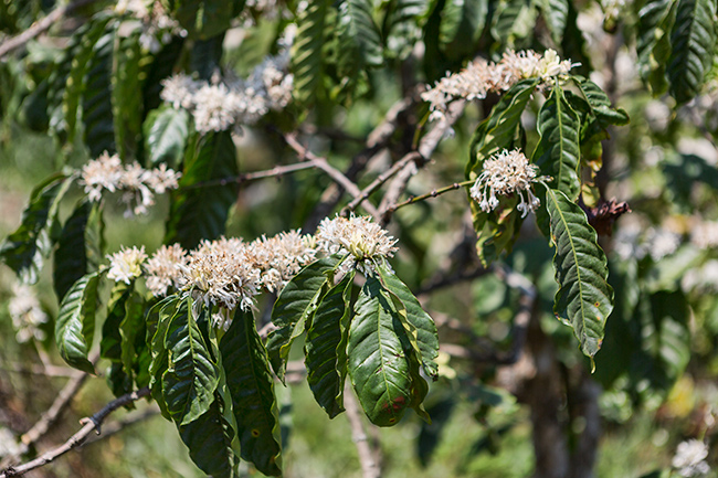 Coffee blossoms smell magic - a bit like Jasmine in the night