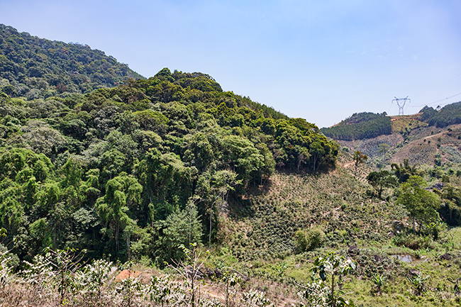 Rainforest meets the coffee plant - the rainforest does loose the fight
