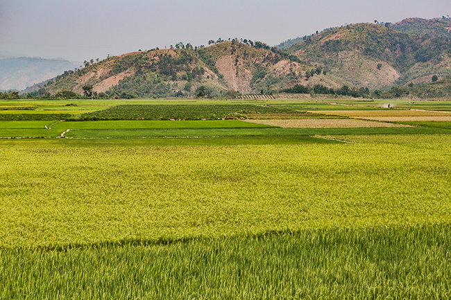 If you get closer to Lak Lake the land gets flat again and the main crop changes from coffee to rice
