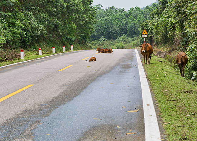 Since there is not a lot of traffic the cows took over the road and hang out here
