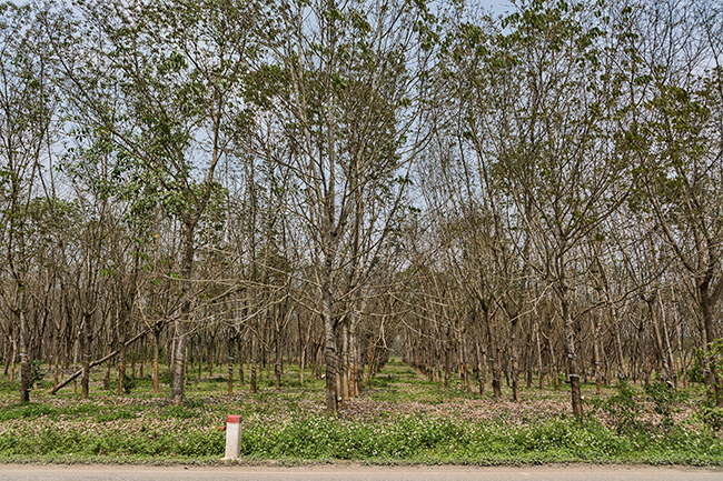 In the afternoon the street leads into tea fields again.  A few kilometres later a mix of tea fields and some rubber tree plantations