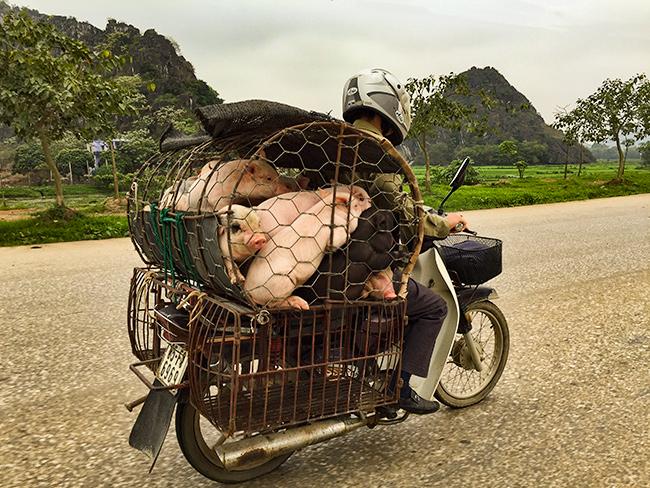 Pig Truck